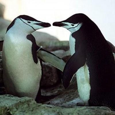 Schwule-Pinguine